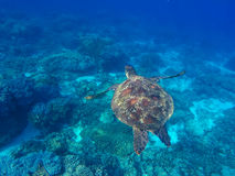 Green turtle swimming underwater close photo. Oceanic ecosystem Royalty Free Stock Images