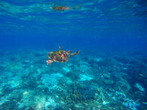 Green turtle swimming underwater close photo. Wild animal of tropical sea. Stock Photo