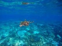 Green turtle swimming underwater close photo. Wild animal of tropical sea. Stock Photo