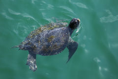 Green turtle swimming Royalty Free Stock Photography