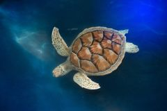 Free Green Turtle Swims Above In Water. Royalty Free Stock Images - 98169759