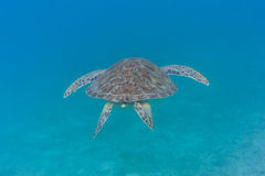 Green Turtle Swims Away. A green turtle swims away from the camera in the blue waters of the Caribbean Royalty Free Stock Images
