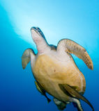 A Green Turtle swims towards the surface with 2 remora attached Royalty Free Stock Image