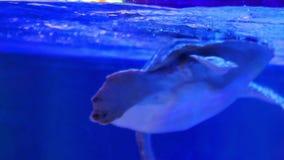 Green turtle swims in water tank.