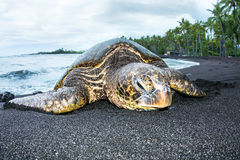 Green turtle on tropical beach Royalty Free Stock Photos