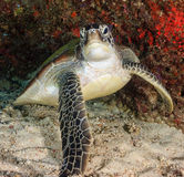 Green turtle on a tropical reef. Angry looking Green Turtle in an underwater cave stock photo