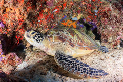 Green turtle on a tropical reef. Sea turtle inside a small underwater cave stock images