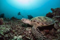 Green Turtle. Under the sun beam in sipadan island dive in malaysia Stock Image