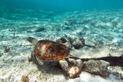 Green turtle underwater. Green turtle in nature of Caribbean sea Royalty Free Stock Images