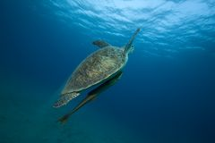 Green turtle underwater. An underwater, submerged view of a green turtle swimming upwards toward the surface, Genus: Chelonia mydas Royalty Free Stock Image