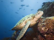 Green turtle underwater royalty free stock image