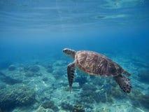 Green turtle underwater in blue ocean. Lovely sea animal in wild nature closeup photo. Sea turtle in water. Green turtle underwater in blue ocean. Lovely sea Stock Image