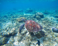 Green turtle underwater in blue ocean. Lovely sea animal in wild nature closeup photo. Royalty Free Stock Photos