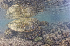 Green turtle underwater close up near the shore Royalty Free Stock Images