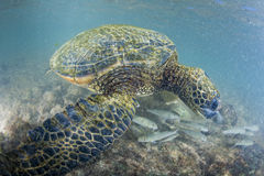 Green turtle underwater close up near the shore Stock Photo
