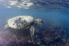 Green turtle underwater close up near the shore Stock Photos