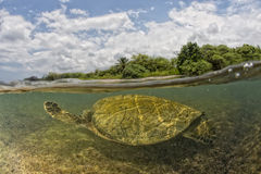 Green turtle underwater close up near the shore Royalty Free Stock Photo