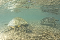 Green turtle underwater close up near the shore Royalty Free Stock Image
