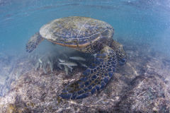 Green turtle underwater close up near the shore Royalty Free Stock Photos