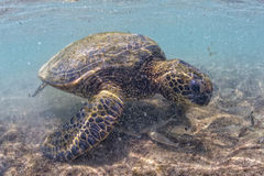 Green turtle underwater close up near the shore Stock Photography