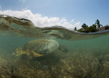 Green turtle underwater close up near the shore Stock Image