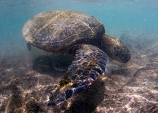Green turtle underwater close up near the shore Stock Images