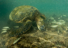 Green turtle underwater close up near the shore Royalty Free Stock Photography