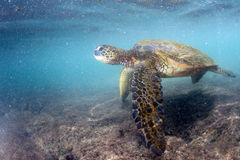 Green turtle underwater close up near the shore. Green turtle underwater while eating near the beach in Hawaii at Kahaluu Beach Park Royalty Free Stock Photography