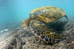 Green turtle underwater close up near the shore. Green turtle underwater while eating near the beach in Hawaii at Kahaluu Beach Park Stock Image