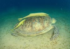 Green turtle with yellow remora. Green sea turtle, chelonia mydas, swimming with two yellow remoras on carapace by sandy bottom of sea with seagrass in Red Sea royalty free stock images