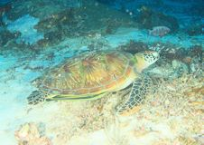 Green turtle with yellow remora. Green sea turtle, chelonia mydas with yellow remora having rest on sand by coral reef in Raja Ampat, Papua Barat, Indonesia stock image