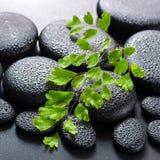 Green twig Adiantum fern on zen basalt stones with dew, beautifu Royalty Free Stock Photography