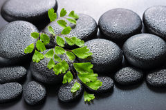 Green twig Adiantum fern on zen basalt stones with dew, beautifu Royalty Free Stock Image