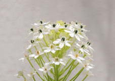 Green twig blooming beautiful small white flowers Stock Photos