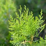 Green branch of thuja in the rays of the sun royalty free stock photos