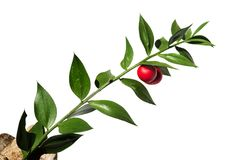Butchers-broom stem with red fruit over white - Ruscus aculeatus. Green twig of Buthers-broom Ruscus aculeatus false leaves with two red berries/fruit isolated stock images