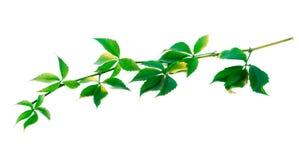 Green twig of grapes leaves (Parthenocissus quinquefolia foliage Stock Photos