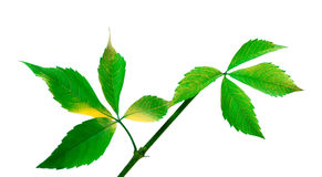 Green twig of grapes leaves (Parthenocissus quinquefolia foliage Royalty Free Stock Photo