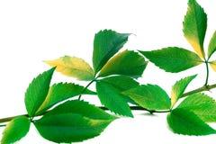 Green twig of grapes leaves (Parthenocissus quinquefolia foliage Stock Images