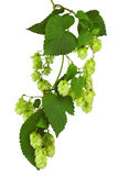 Green twig with mature cones of hop Royalty Free Stock Photography