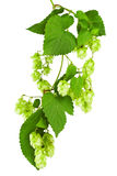 Green twig with mature cones of hop Royalty Free Stock Image