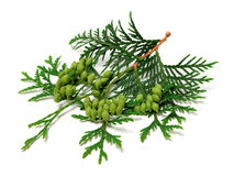Green twig of thuja with cones on white background. Green twig of thuja with cones isolated on white background Royalty Free Stock Image