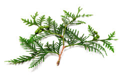 Green twig of thuja with cones on white background. Green twig of thuja with cones. Isolated on white background Royalty Free Stock Image