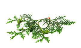 Green twig of thuja with cones on white. Green twig of thuja with cones. Isolated on white background Stock Images