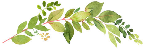 Green twig watercolor illustration Royalty Free Stock Photography