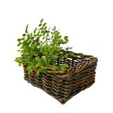Green twigs with berries cranberries and blueberries, sackcloth in a wicker basket on a white background Stock Photography