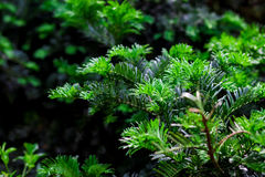Green twigs of pines Stock Photo