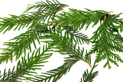 Green twigs of thuja Royalty Free Stock Images