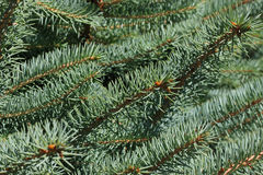 Green twigs. Of young conifers Royalty Free Stock Photos