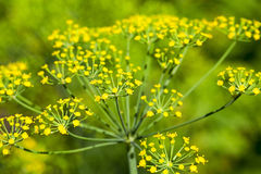 Green umbrella dill Royalty Free Stock Images